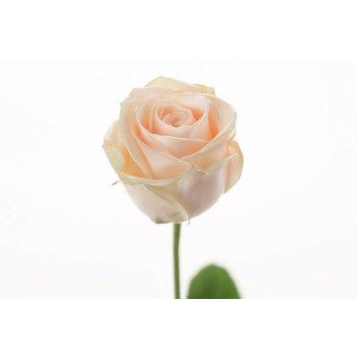 5 Wachs Rosen P110(Creme-Apricot )