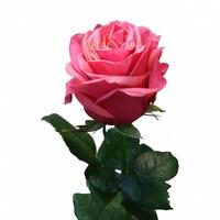 10 Premium-Rosen Bubblegum (Himbeere)