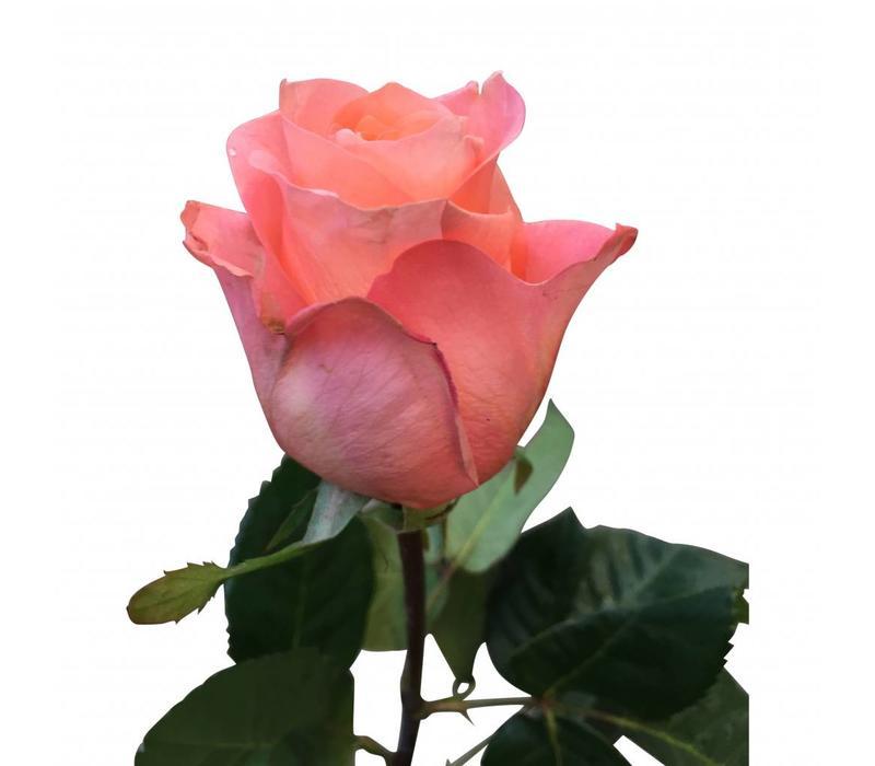 10 Rosen Lady Margaret (Lachs)