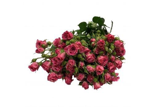 10 Tros-Rosen Pink Flash