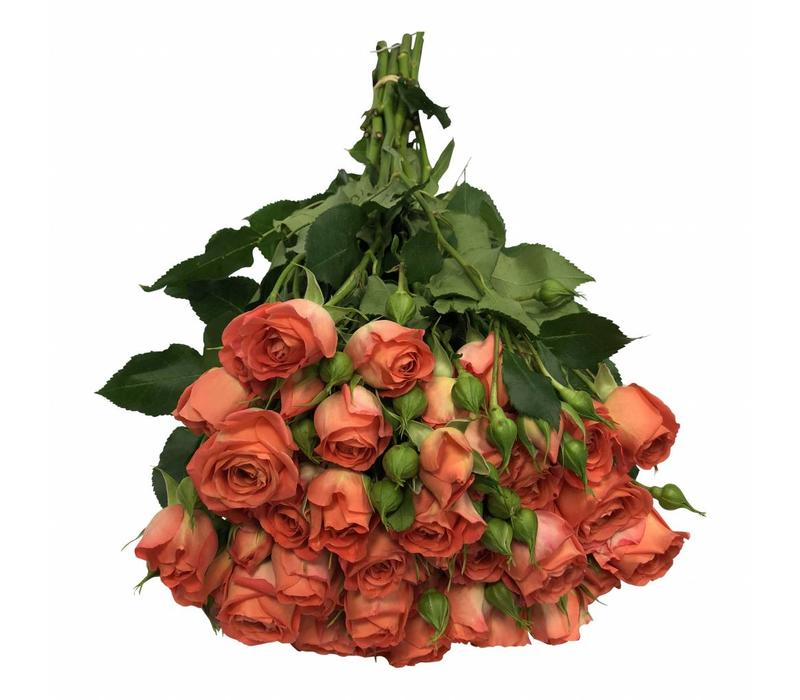 10 Tros-Rosen Charming Babe (Orange-Lachs)