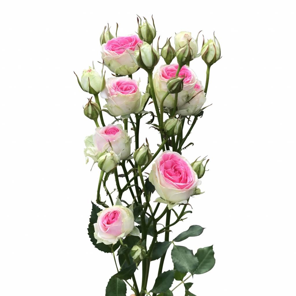 10 rosa tros rosen mimi eden im bund bestellen bezahlbare. Black Bedroom Furniture Sets. Home Design Ideas