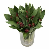 10 Tulpen Topparrot Papagei(Rot)