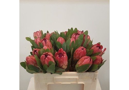5 Protea Silva