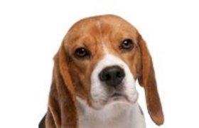 Beagle kalenders