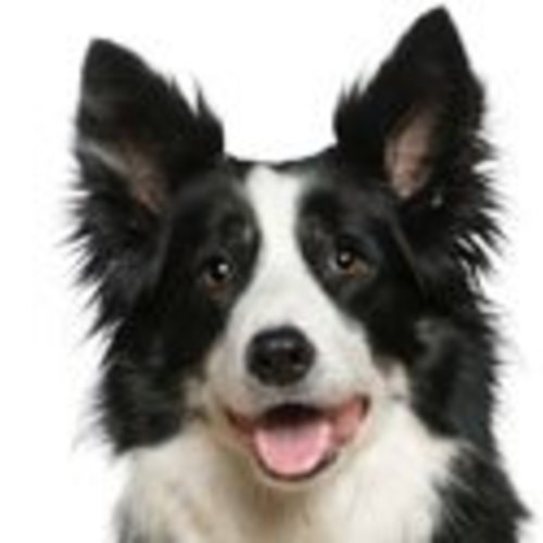 Border Collie kalender
