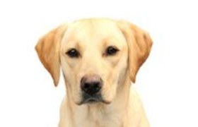 Labrador Retriever Blond