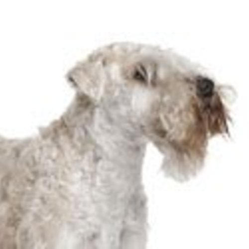 Softcoated Wheaten Terrier