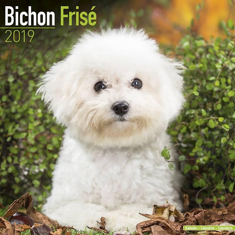 Bichon Frise Kalender 2019 Avonside