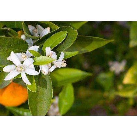 Alepeo flydende sæbe med orange - 350 ml