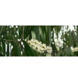 Aromed Cajeput Melaleuca essentiële olie 10 ml