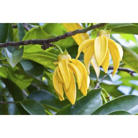Aromed Organisk ylang ylang æterisk olie - 10 ml