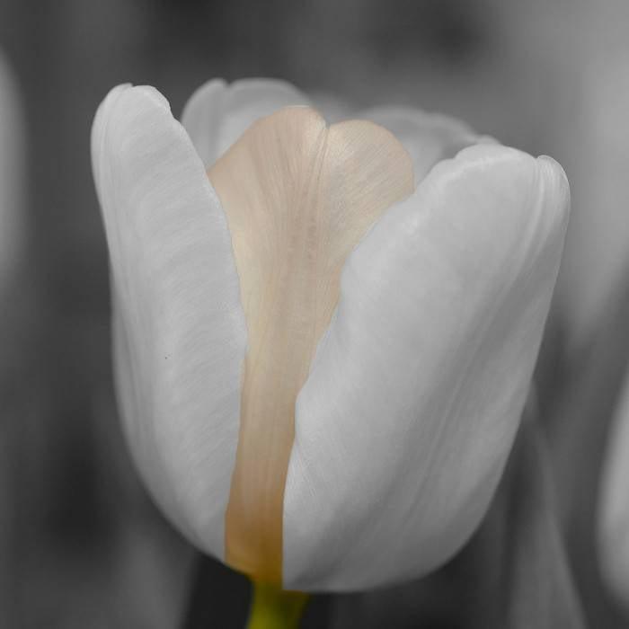Tulpe 6