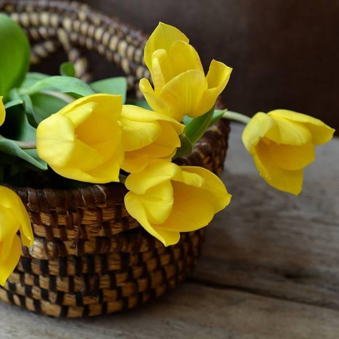 Tulpe 9