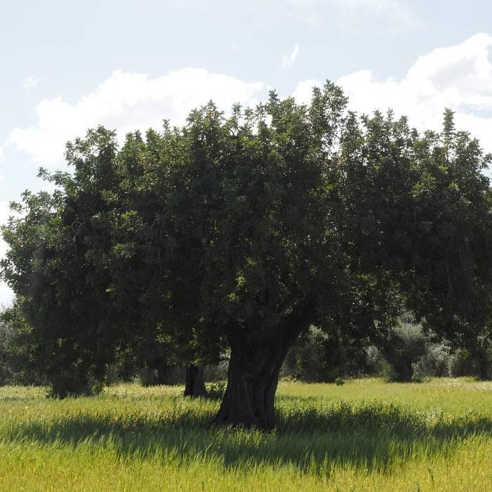 Olive tree 0