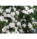Banksiae Alba Plena