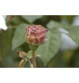 Ambridge Rose  (kale wortel)