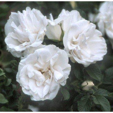 Blanc Double de Coubert Kale wortel)