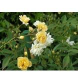 Belle Epoque Yellow Rambler