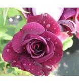 Burgundy Ice  (kale wortel)