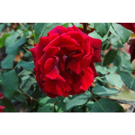 Crimson Glory (kale wortel)