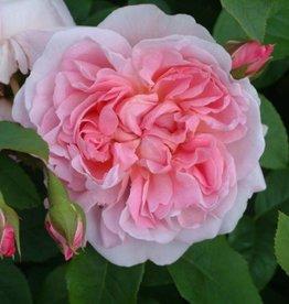 Cottage Rose  (kale wortel)