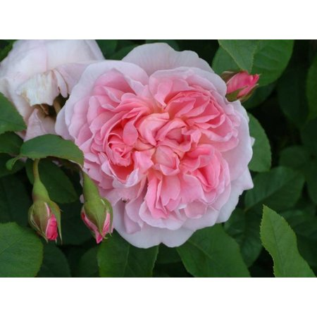 Cottage Rose  (kale wortel)