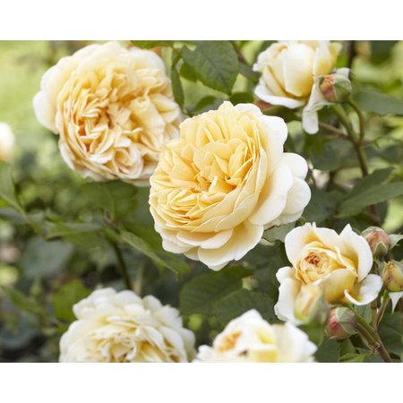 Crown Princess Margareta XXL