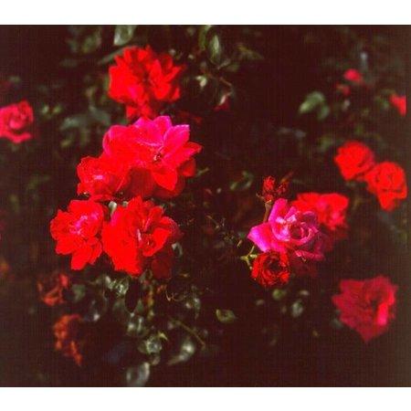 Étendard Rouge