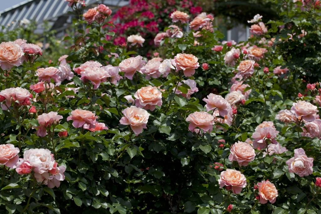 marie curie belle epoque rozenkwekerijen ouderwetse en zeldzame rozen online. Black Bedroom Furniture Sets. Home Design Ideas
