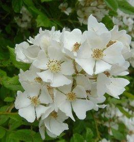 Rosa multiflora (Kale wortel)