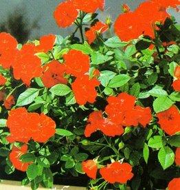 Orange Meillandina