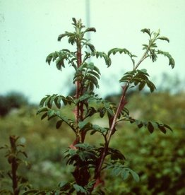 Rosa omeiensis Pteracantha  (kale wortel)