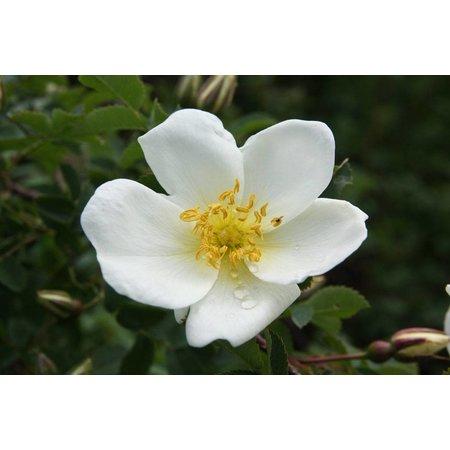 pimpinellifolia Altaica