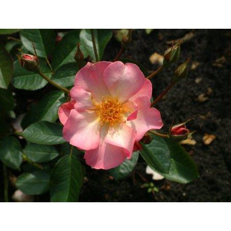 Peach Nature