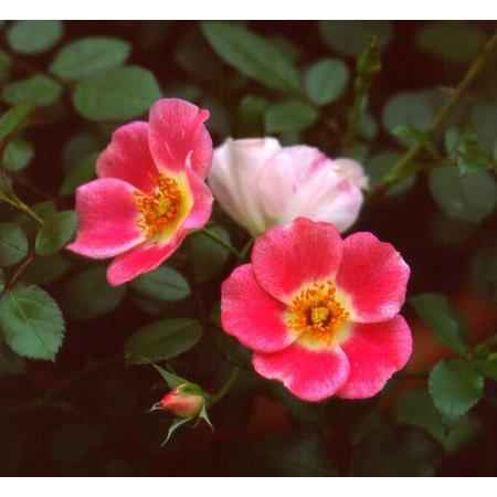 Pink Meidiland