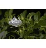 rugosa 'Alba' (Kale wortel)