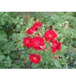Red Fairy (Velvet Cover)