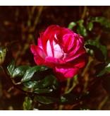 Rose Gaujard (Kale wortel)