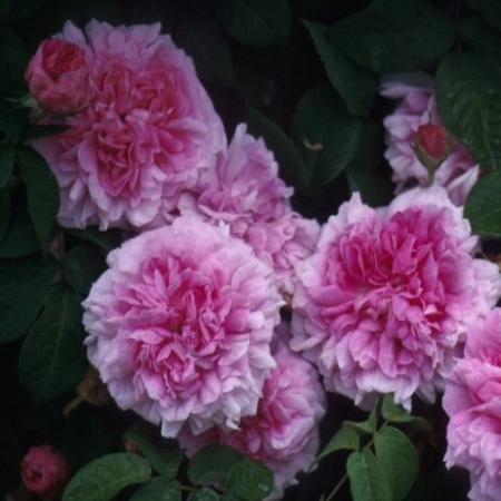 Persian Rose (Kale wortel)