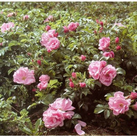 Rosa zwerg