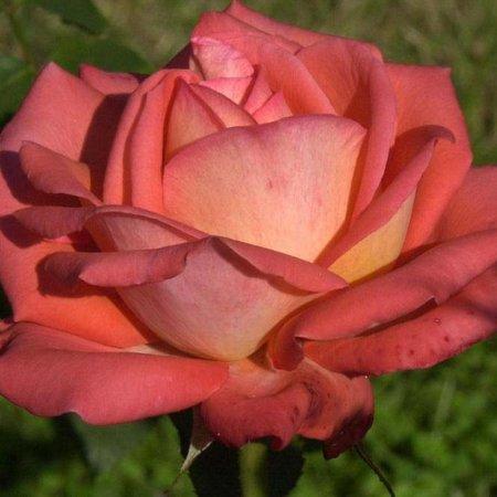 Königin der Rosen (Kale wortel)