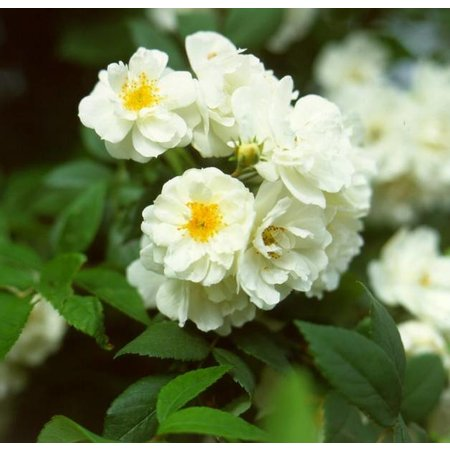 Rambling Rector (Kale wortel)
