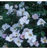 Rosa richardii
