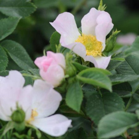 Rosa Scarmanii (Kale wortel)