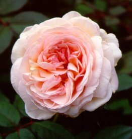 A Shropshire lad  (in pot 4 liter)
