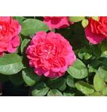 Sophy's Rose (op stam in pot 100-120 cm.)