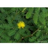 pimpinellifolia Plena