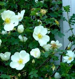 pimpinellifolia  Repens
