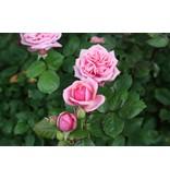 Stefanie's Rose (Kale wortel)